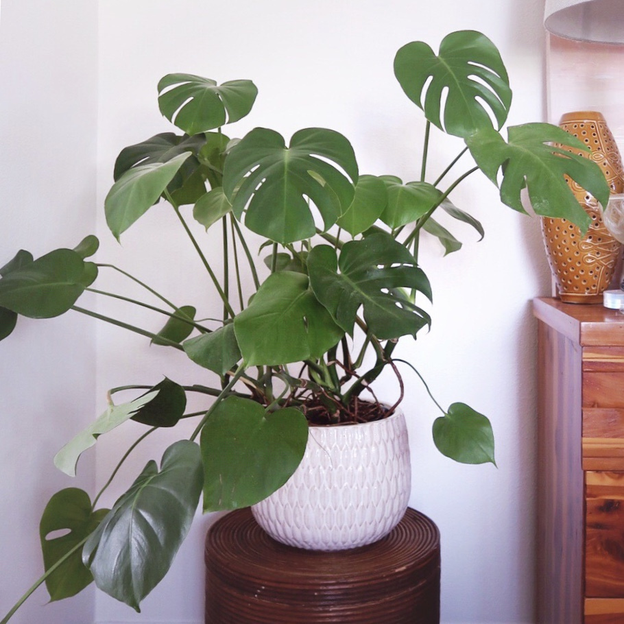 Monstera plant in large white pot on top of a rattan plant stand in front of a white wall