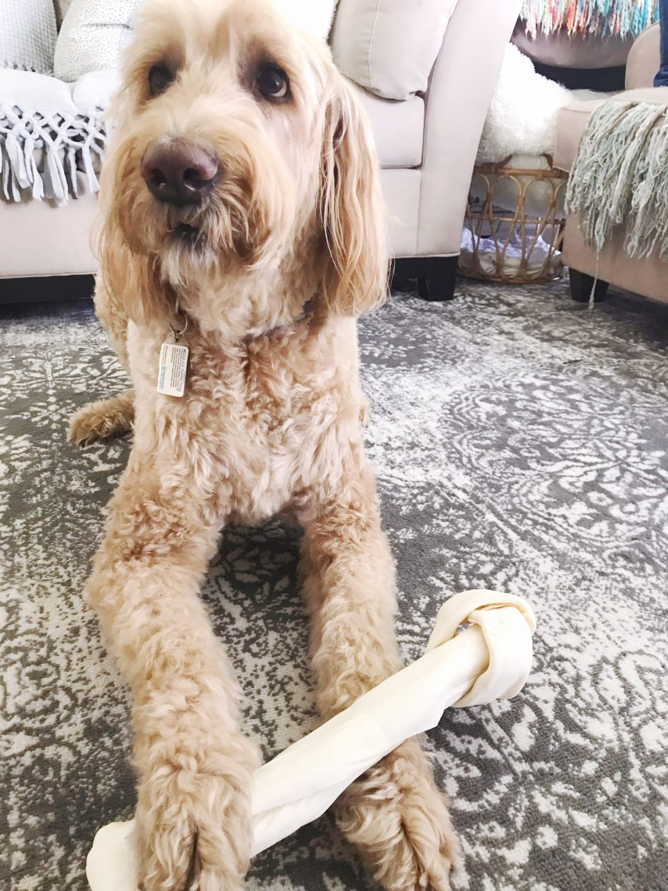 Goldendoodle with a big rawhide bone
